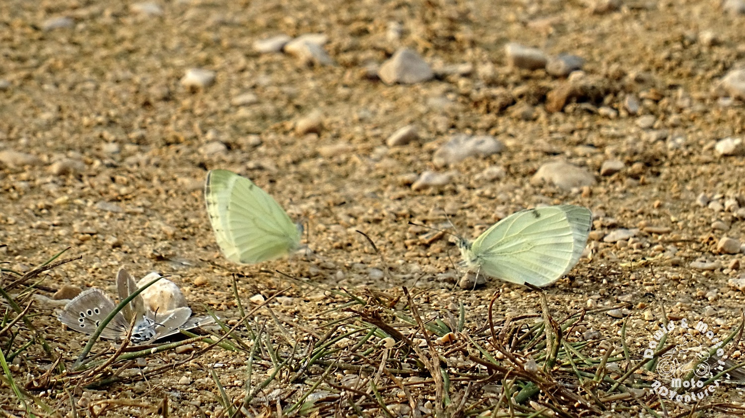 Butterfly fights at Izvor Cetine