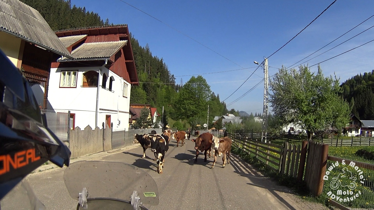 Cows on the way to Chiril Romania